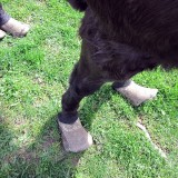 poney négligé