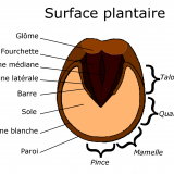 Surface plantaire