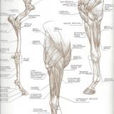 L'épaule et l'avant bras